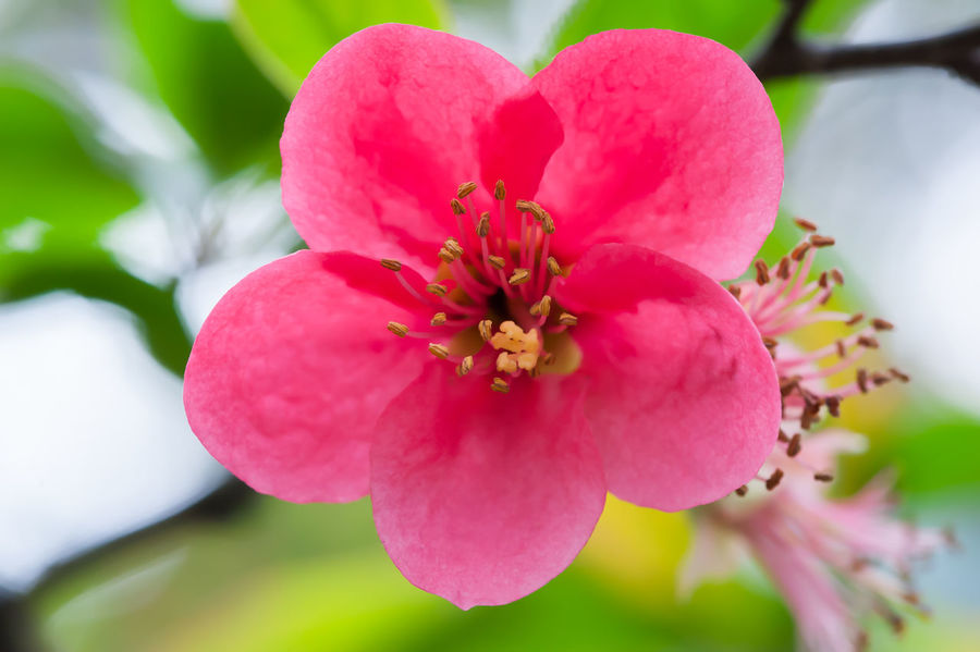 Malus spectabilis in spring Malus Spectabilis Beauty In Nature Blooming Close-up Day Flower Flower Head Focus On Foreground Fragility Freshness Growth Nature No People Outdoors Petal Pink Color Plant Pollen Springtime Stamen