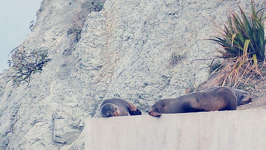 Rock Formation Seals Sleep Kaikoura Seal - Animal Aquatic Mammal Seal