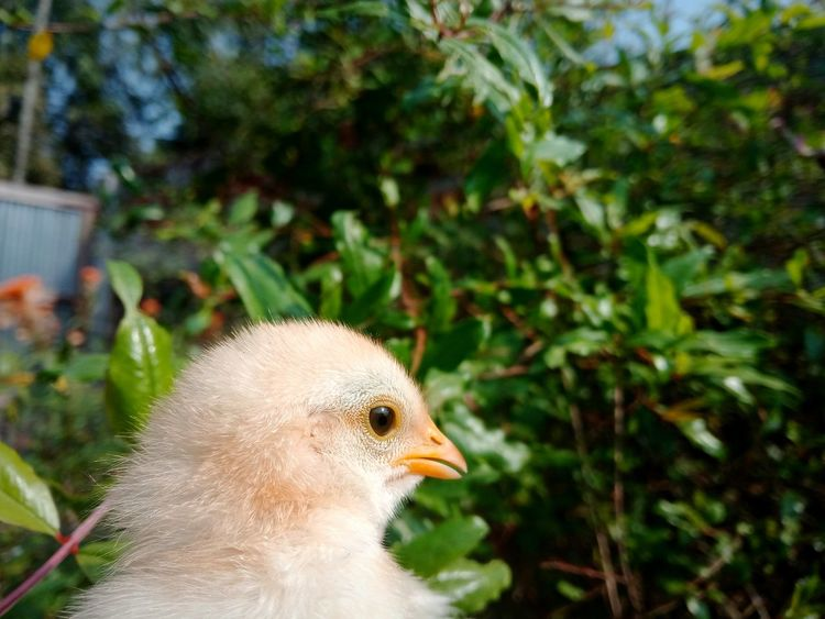 Bird Young Bird Focus On Foreground Close-up Young Animal Beak Animal Themes No People One Animal Day Outdoors Nature Duckling EyeEmNewHere Be. Ready. Freshness Fragility Growth Nature Animal