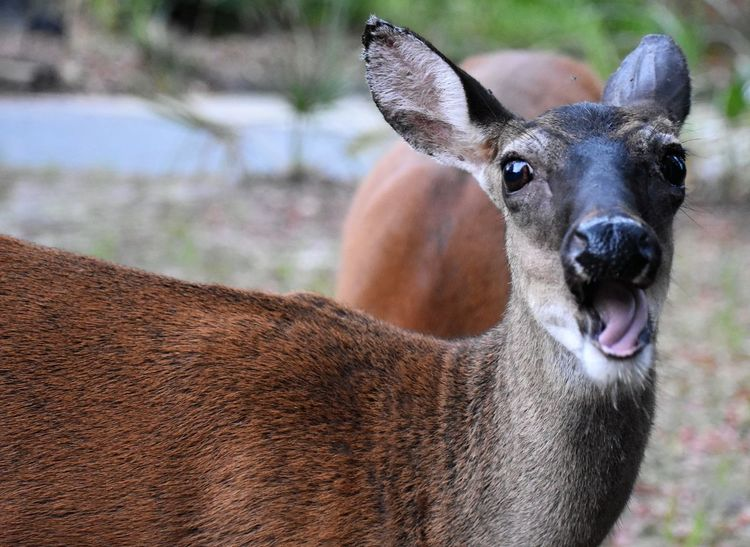 Deer sticking out tounge Jekyll Island Deer Sticking Out Tounge Animal Head  Animal Themes Animals In The Wild Close-up Day Domestic Animals Focus On Foreground Livestock Looking At Camera Mammal Nature No People One Animal Outdoors Portrait