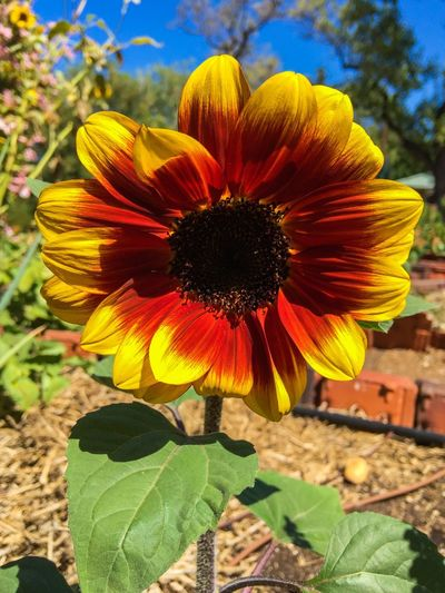 Sunflower Garden Photography Leaves Stem Floral Petals Sunflower🌻 Flower Collection Botanical Blossom Bicolor Procut Bicolor Firecracker Sunflower Plants Garden Flora Yellow And Red Red Flower Yellow Flower Flower (null)Sunflower Closeup