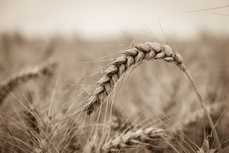 Close-Up Of Wheat Blade