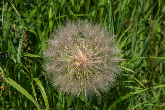 Salsify plant. Canon60d Canonphotography Close-up Day Grass Green Color Growth Nature Outdoors Plant Puff Ball Salsify