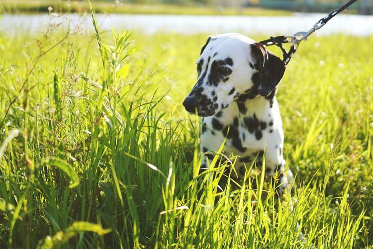 Relaxing Taking Photos Enjoying Life Hello World Ilovemydog ダルメシアン Dalmatian My Dogs Are Cooler Than Your Kids Beautiful Dog❤