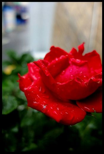 The Rose Flower Popular Photos @korea seoul nungdong @sony nex-5N / 18-200mm f4.0-5.6
