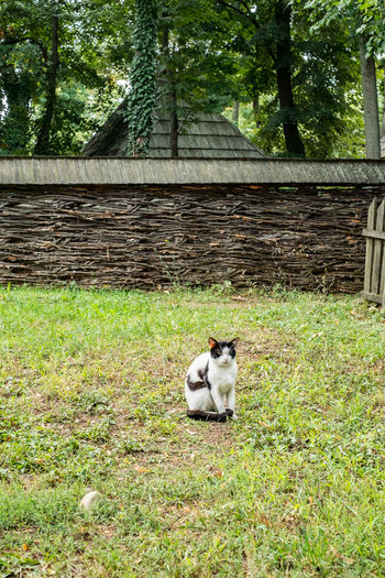 a cat in the yard of the country house A Cat In The Yard Of The Country House Cat Plant Animal Themes One Animal Animal Mammal Domestic Animals Vertebrate Pets Domestic Tree Grass Nature No People Feline Sitting Day Land Domestic Cat Relaxation Outdoors