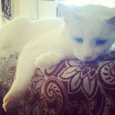 Everybody wants to be a cat, because a cat's the only cat who knows where it's at ? Roxiebaby Catsofinstagram Cats Fiercefelines whitecats familiar oddeyed lazycatdaze theroxiebaby everybodywantstobeacat furbaby