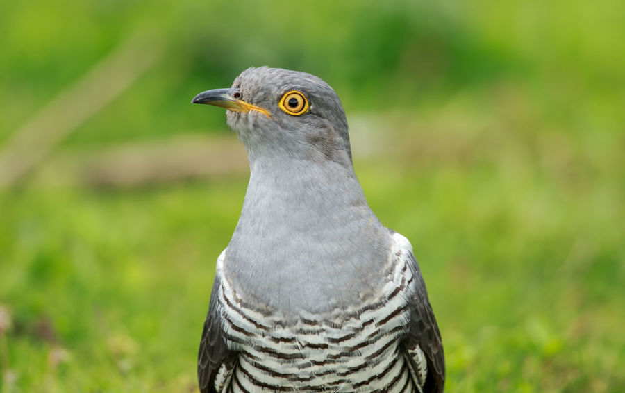 The common cuckoo is a member of the cuckoo order of birds, Cuculiformes, which includes the roadrunners, the anis and the coucals. This species is a widespread summer migrant to Europe and Asia, and winters in Africa. Beak Common Cuckoo Cuculus Canorus Eurasian Cuckoo Nature Surrey Wildlife & Nature Animal Beauty Beauty In Nature Bill Bird Brood Parasite Close Up Cuckoo Europe Grey Migratory Mimic Portrait Uk Up Close Wild Wildlife Worm