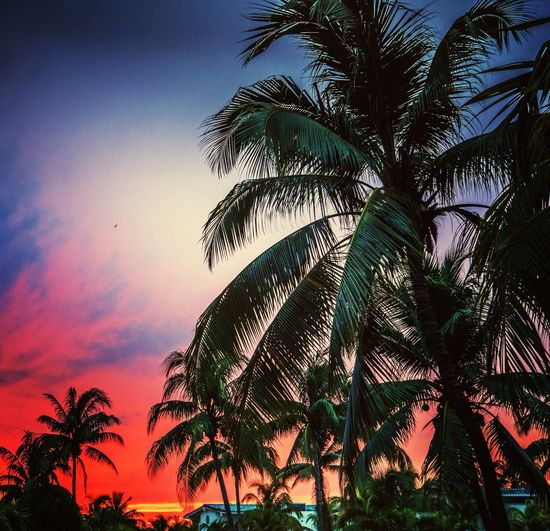 Sunset Palm Tree Tree Sunset Sky Beauty In Nature Tropical Climate Palm Leaf Scenics Nature Palm Frond Low Angle View Silhouette Growth Tree Trunk Outdoors Tranquility No People Vacations Tourist Resort Cloud - Sky