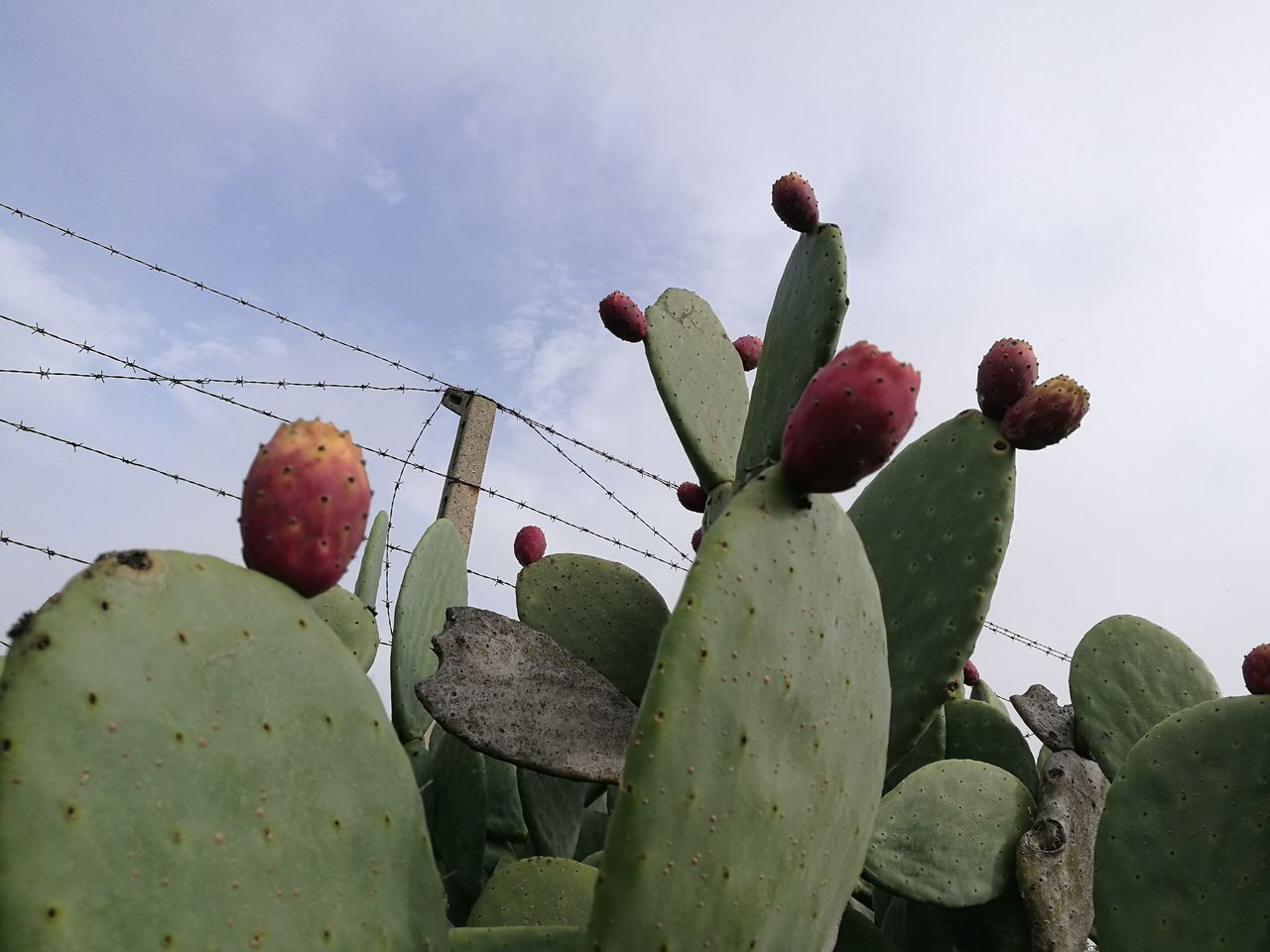 cactus, growth, nature, prickly pear cactus, thorn, no people, outdoors, beauty in nature, plant, day, green color, sky, fruit, low angle view, close-up