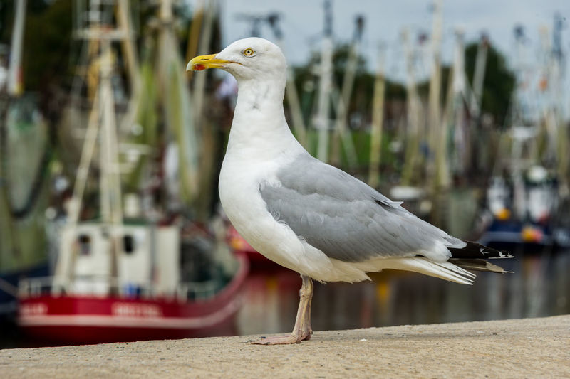 Close-Up Side View Of A Seagull Against Boats
