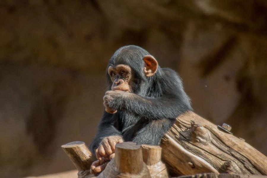 Loro parque Lanzarote Island Lanzarote Ape Affe Nature Wildlife