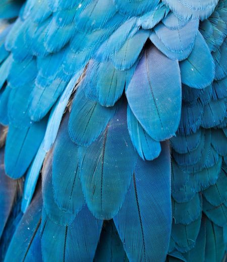 Macaw's feather Macaw Animal Animal Themes No People Bird Blue Feather  Animal Wildlife Backgrounds Close-up Vertebrate Animals In The Wild Animal Body Part Beauty In Nature