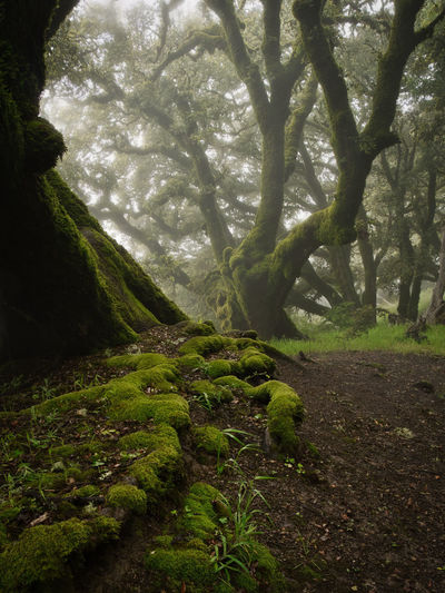 Misty oaks on Russian Ridge OSP, Ancient Oaks trail. Plant Tree Forest Tranquility Nature Landscape Growth Dirt WoodLand Trail Tranquil Scene Green Color Moss Rainforest Mist Cavern Roots Oak Tree