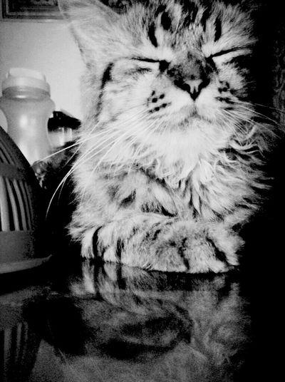 Shades Of Grey Bigboy Mainecoon Cat♡ Honey Sleepybaby Iloveyou