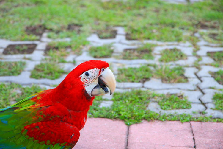 macaw parrot,