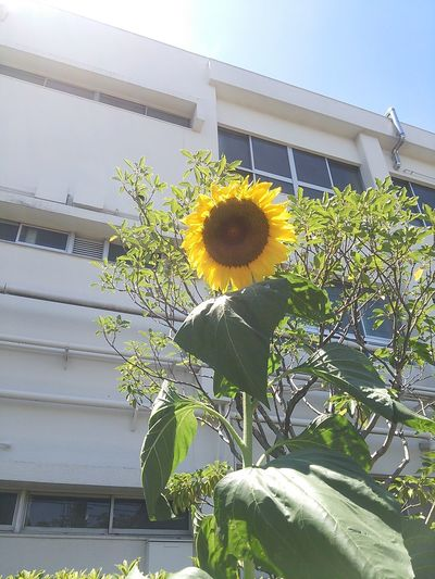 Even this Sunflower feels this is too hot! Cannot face the sun directly. Flower Collection
