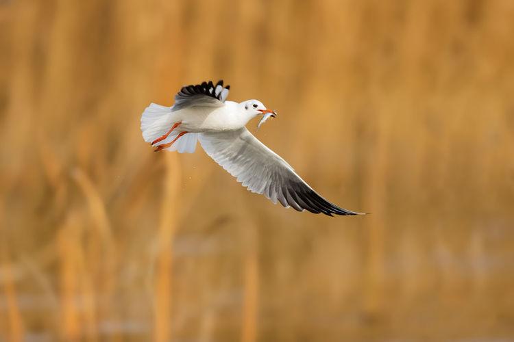 红嘴鸥 Bird Spread