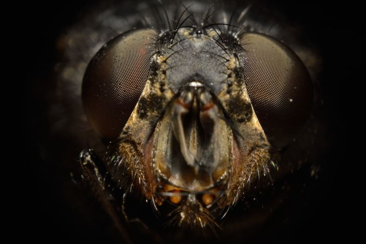 The Fly Fly Macro Beauty Animal Animal Body Part Animal Eye Animal Head  Animal Mouth Animal Themes Animal Wildlife Animal Wing Animals In The Wild Black Background Close-up Extreme Close-up Eye Fly Front View Insect Invertebrate Looking At Camera Macro_collection No People One Animal Portrait Studio Shot