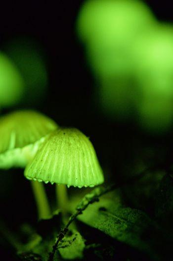 シイノトモシビタケ シイノトモシビタケ 椎の灯火茸 ひかるキノコ キノコ きのこ狩り
