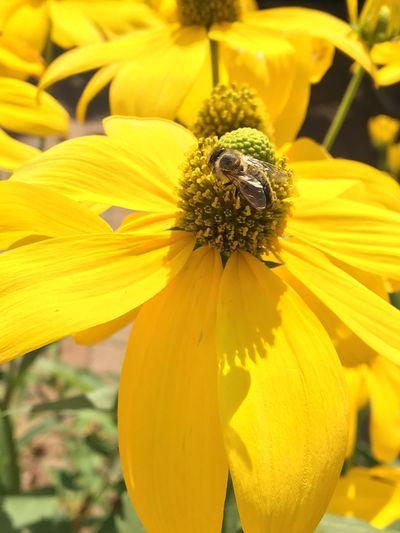 Biene beim Bestäuben, Blumen, gelb, Blüte, Bee Flowering Plant Flower Yellow Freshness Plant Petal Flower Head Beauty In Nature Close-up Inflorescence Vulnerability  Fragility Pollen Nature Focus On Foreground