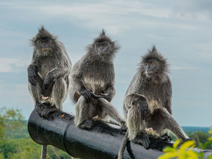 Three Silvery Lutung (Trachypithecus cristatus), also known as Silvered leaf monkey sitting on a cannon Animal Family Animal Themes Animal Wildlife Animals In The Wild Beauty In Nature Cannon Day Mammal Monkey Nature No People Outdoors Relaxation Silver Leaf Monkey Sitting Sky Togetherness Wildlife