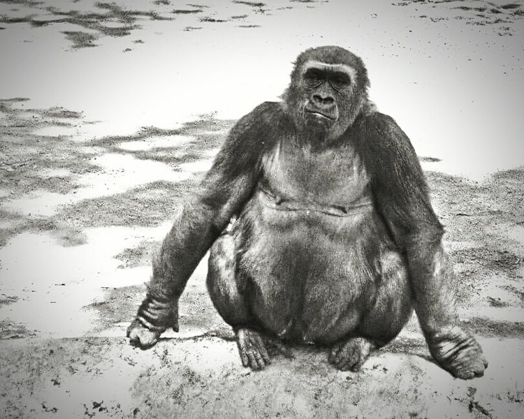 Animals Gorilla Zoophotography Zoo Animals  Relaxing Hanging Out Check This Out Abqphotos Blackandwhite Blackandwhite Photography