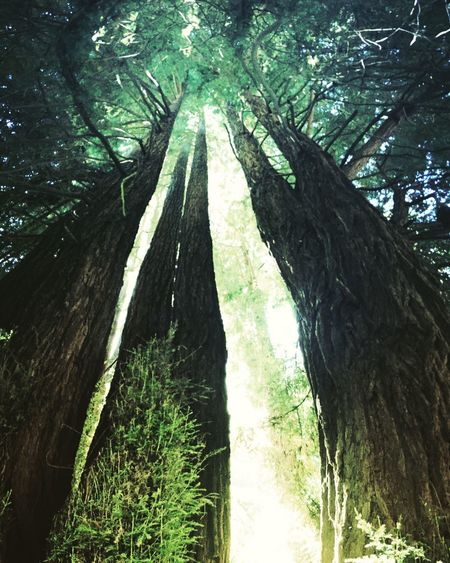 🌲Redwood family🌲 Nature_perfection Nature_collection Naturelover Nature Photography Tree Trees Humbled Gettinggrounded Redwood Trees RedwoodRegionalPark Redwoods Personal Perspective Panoramic Panoramic Photography