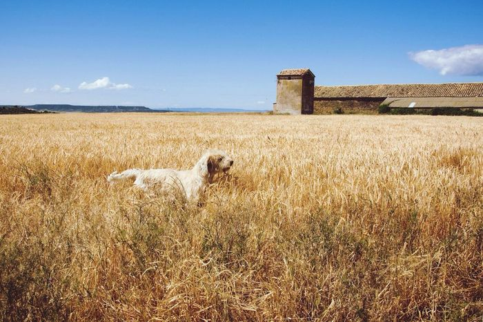 Pet Portraits Pet Dog Dog In The Field Landscape_photography Color Photography Camuflage Animal Domestic Animals One Animal Nature Outdoors No People Rural Scene CaminodeSantiago