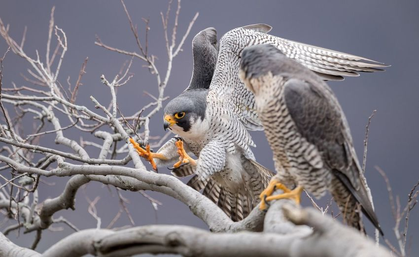 Peregrine falcons Falcon Peregrine Animal Themes Animal Animal Wildlife Animals In The Wild Bird Branch Vertebrate Falcon - Bird No People Spread Wings Perching Nature Outdoors Day One Animal Close-up Plant Bird Of Prey Tree