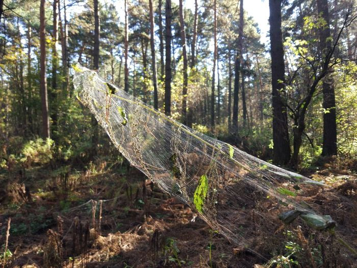 Forest Tree Land Plant WoodLand Nature Day Tree Trunk Trunk No People Environment Growth Landscape Tranquility Scenics - Nature Non-urban Scene Outdoors Wood - Material Tranquil Scene Beauty In Nature Pine Woodland Spider Spider Web
