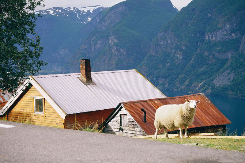 Sheep on the street with houses background Mountain Architecture Built Structure Building House Building Exterior Roof Plant Nature Day Scenics - Nature Mountain Range Tree Landscape Beauty In Nature Rural Scene No People Residential District Environment Outdoors Cottage Sheep