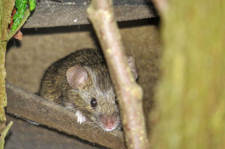 Mouse Mice Animals Nature Nature Photography Animals In The Wild Animal Themes Animal Photography Rodent Mammal Taking Photos From My Point Of View Nature On Your Doorstep Nature_collection Animal_collection Garden Photography Amimals Animal Naturelovers Nature_collection