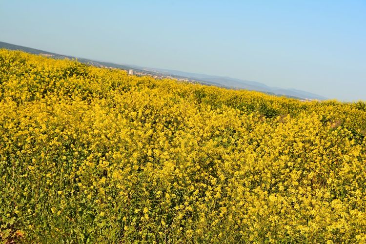 Israel Photography Izrael Vally Paint The Town Yellow Beauty In Nature Day Field Flower Landscape Nature Outdoors Scenics Tranquil Scene Yellow Perspectives On Nature