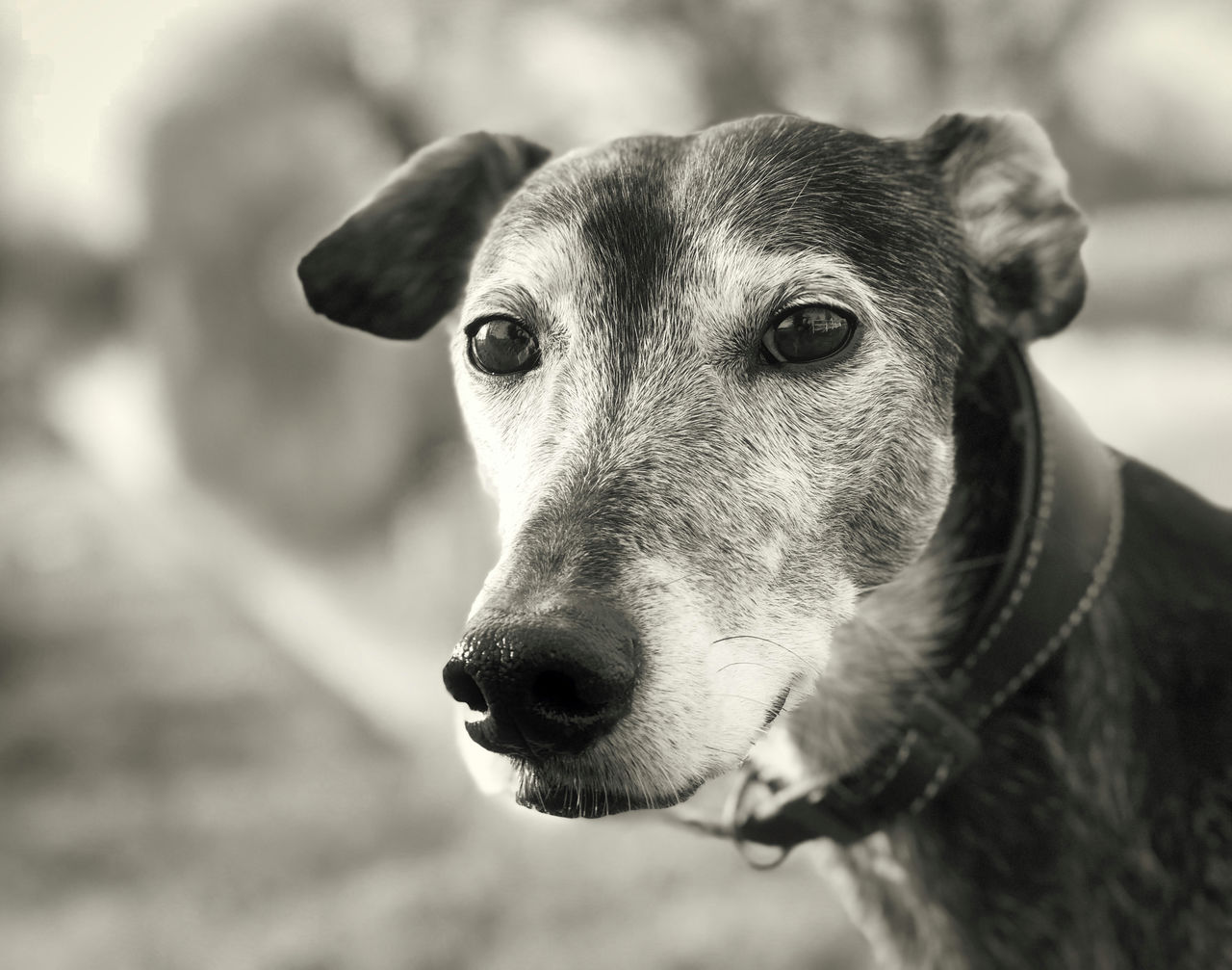 one animal, animal themes, domestic animals, mammal, animal, domestic, pets, vertebrate, dog, canine, focus on foreground, close-up, portrait, looking away, looking, animal body part, day, no people, animal head, animal mouth, snout, jack russell terrier, animal eye