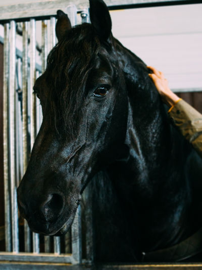 Close-Up Of Black Horse In Stable