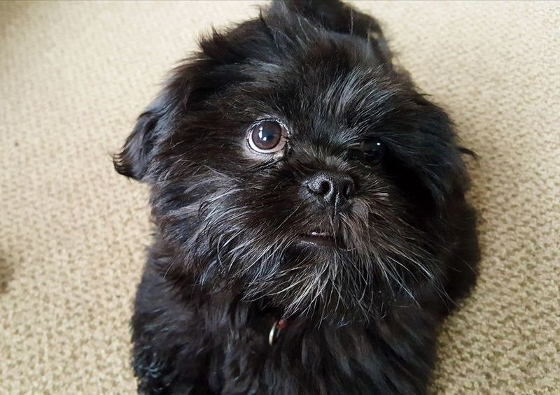 Lhasa Apso Puppies Pets Dog One Animal Animal Hair Animal Portrait Domestic Animals Animal Themes Cute Puppy Looking At Camera Black Color Mammal Indoors  No People Day Close-up