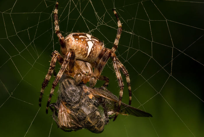 Focusstacking Focus Stacking Nature Wildlife Garden Macro Macrophotography Closeup Close Up Web Insect Spider Web Spider Survival Complexity Intricacy Full Length Close-up Arachnid Prey Cocoon