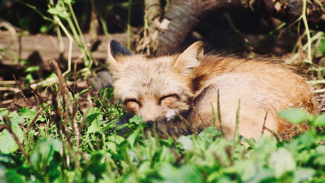 Wildpark Poing, Germany. Fluffy Cute Animals Fox Poing Munich Wildpark Animal Animal Themes Mammal One Animal Animals In The Wild Animal Wildlife Plant Outdoors Nature