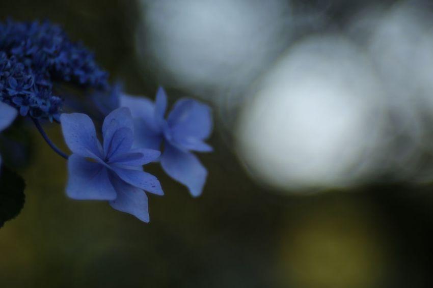 Shade. EyeEm Nature Lover Flowers Hydrangea Fukui Japan Canon5Dmk3 Meyer-Optik-Görlitz Trioplan100 Soapbubblebokeh Bokehlicious