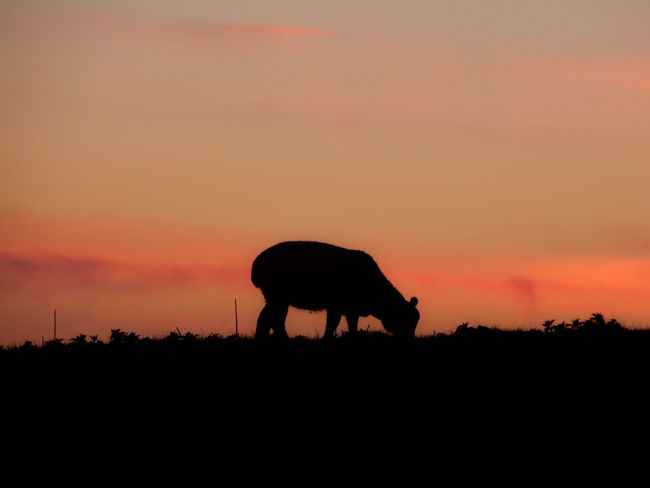 Sunset Silhouette Animal Animal Wildlife Animals In The Wild Nature One Animal Mammal No People Sky Outdoors Beauty In Nature Animal Themes EyeEm Best Shots - Nature Nikonphotography Dusk Sunset_collection Vibrance Silhouettes Silouette & Sky Sunset Silhouettes EyeEm Nature Lover EyeEm Best Shots - Sunsets + Sunrise Silhouette Beauty In Nature