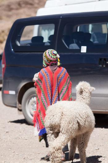Person And Lama Walking Towards Car