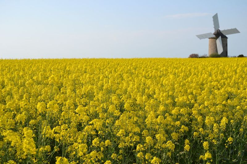Rapeseed flowers, Bretagne, France Colza Rapeseed Rapeseed Field Fiori Giallo Mulino Mulinoavento Mill Windmill Field Landscape Rural Scene Yellow Land Agriculture Growth Plant Sky Environment Beauty In Nature Farm Flower Tranquil Scene Scenics - Nature Flowering Plant Tranquility Nature
