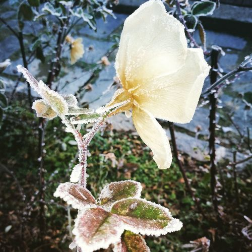 Frosen Rose Beauty In Nature Cold Temperature Fragility Me, My Camera And I Beauty In Nature VIVAIO ANNA PEYRON Flower Head