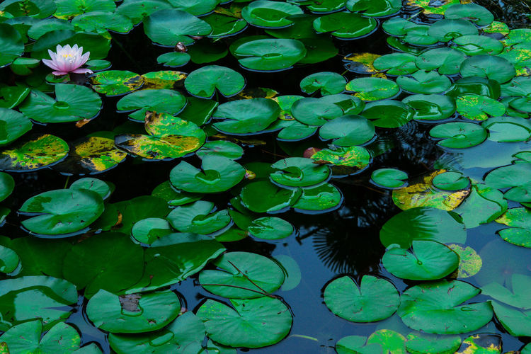 Lotus Backgrounds Beauty In Nature Day Floating On Water Flower Fragility Freshness Full Frame Green Green Color Growth Lake Leaf Leaves Lotus Water Lily Nature No People Outdoors Petal Plant Pond Reflection Tranquility Water Color Palette
