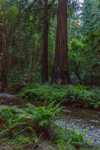 Redwoods Tree Forest Plant Land Growth Tree Trunk Trunk WoodLand Beauty In Nature Tranquility Nature Scenics - Nature Green Color Day No People Lush Foliage Tranquil Scene Non-urban Scene Water Foliage Outdoors Rainforest Flowing