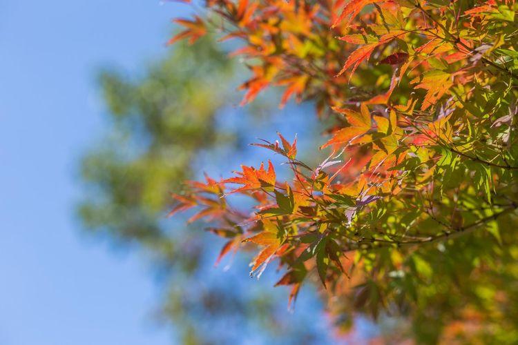 半分赤い OSAKA Japan Tree Leaf Branch Autumn Multi Colored Change Defocused Sky Close-up Plant Tree Area