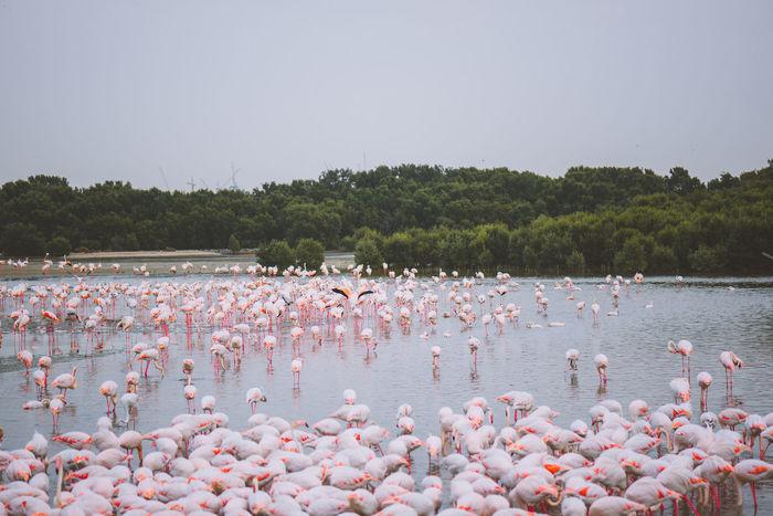 Adult Adults Only Animal Themes Bird Birds Crowd Day Dubai Flamingo Landscape Large Group Of Animals Large Group Of People Nature Outdoors People Sky UAE United Arab Emirates