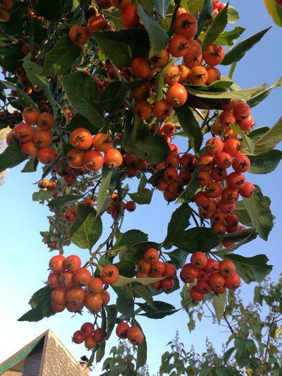 Tree Fruit Agriculture Branch Leaf Hanging Citrus Fruit Sky Close-up Sweet Food