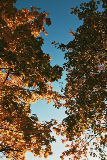 Fall in to // Low Angle View Tree Nature Growth Clear Sky No People Branch Beauty In Nature Day Leaf Sky Outdoors Fall